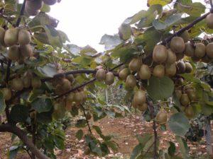 猕猴桃种植指南