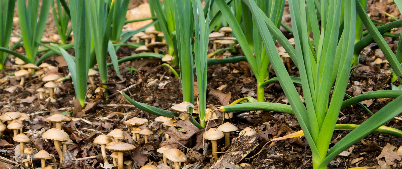 如何为种植大蒜做好准备