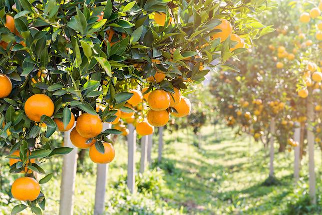 柑橘树能施有机肥吗?如何给柑橘树施有机肥?