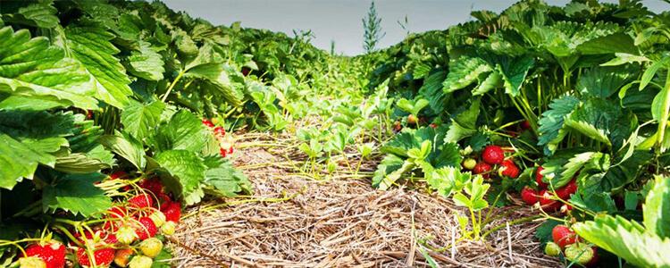 草莓科学施肥指南