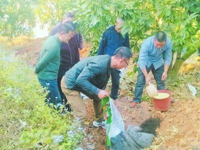 蜜柚实现增产,施有机肥刻不容缓