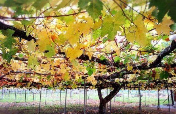 参观日本35年的葡萄园