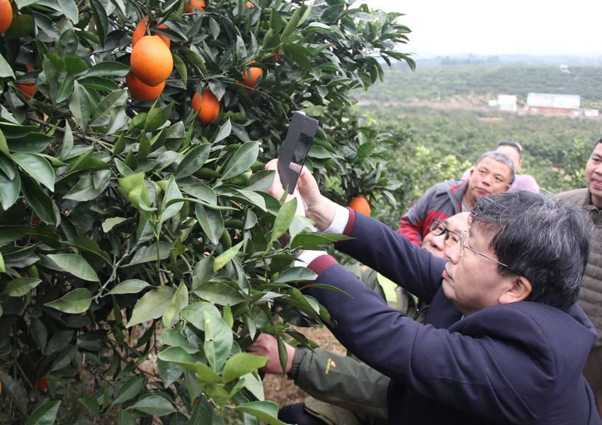 广西柑橘产业这三类问题若不解决,可能会走向覆灭