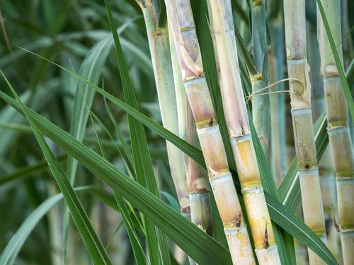 种植甘蔗的简要说明