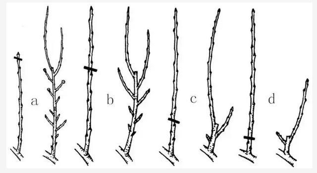果树的整形修剪