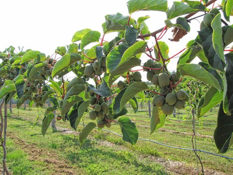 猕猴桃树冬季抗寒防冻指南