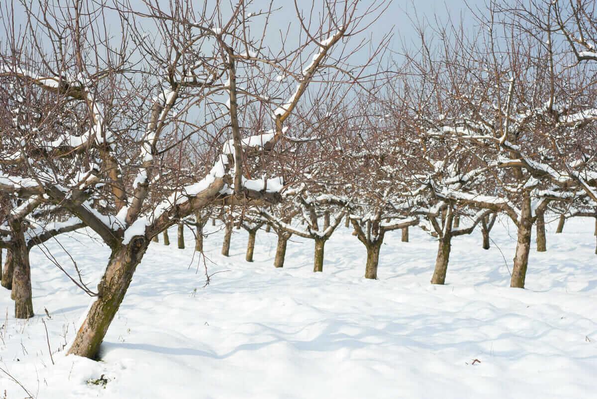 果树冬剪技术完全指南