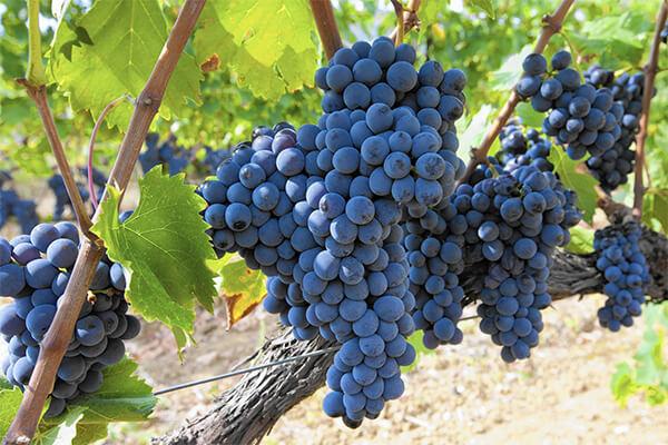 葡萄春季施肥,如何做到优质高产?