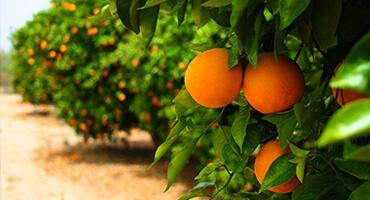 桃树秋天施有机肥用量多少?