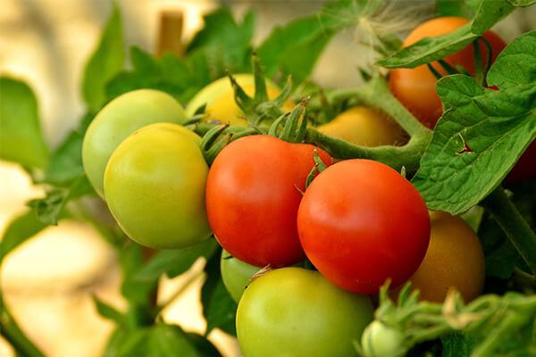 西红柿_西红柿施肥