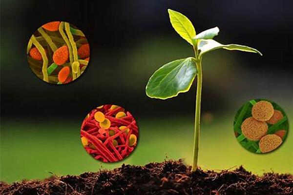 种植过程中得了根腐病可以用菌肥吗?